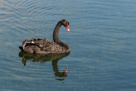 swimming swan: black swan floating on lake