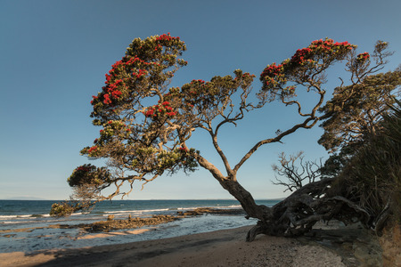 Pohutukawa tree growing above beach in New Zealand