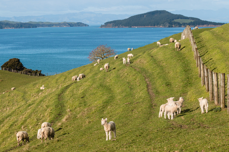 ewes: lambs with ewes grazing in paddock