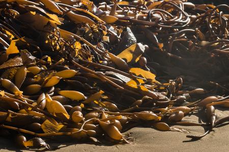 alga marina: algas en descomposici�n en la playa Foto de archivo