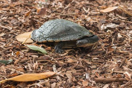 freshwater: freshwater turtle