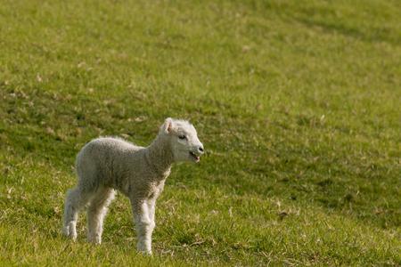 新生児の子羊を bleating