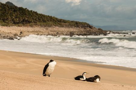 cormorants: three cormorants resting on sandy beach in New Zealand Stock Photo