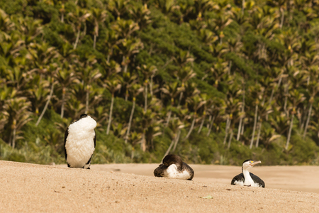 three palm trees: Australian pied cormorants resting on sandy beach Stock Photo