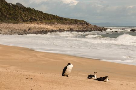 cormorants: three cormorants resting on sandy beach near Heaphy Track