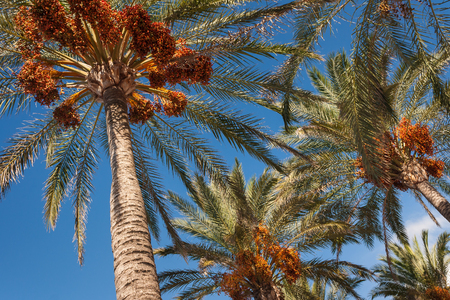 tree trunk: date palms with ripe fruit against blue sky Stock Photo