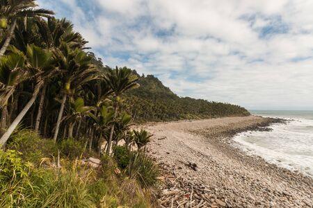 new zealand flax: nikau palms growing along West Coast in New Zealand