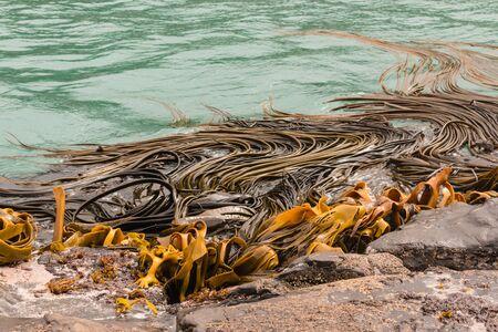 alga marina: kelp gigante flotando en el mar