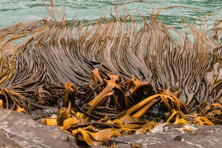 alga marina: algas gigantes que crecen en las rocas