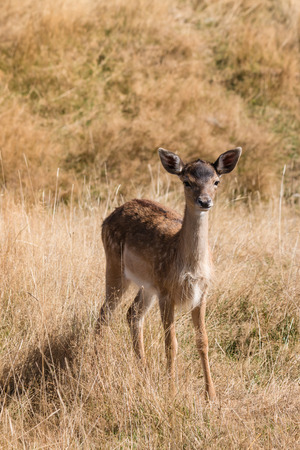 cautious: cautious red deer fawn