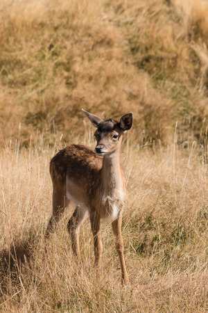 cautious: cautious deer fawn standing  on grassy meadow