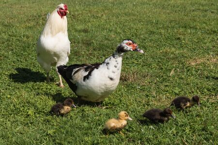 cock duck: Muscovy duck guarding ducklings Stock Photo