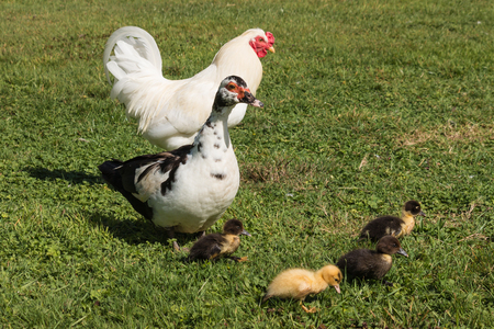 cock duck: Muscovy duck with ducklings on spring meadow