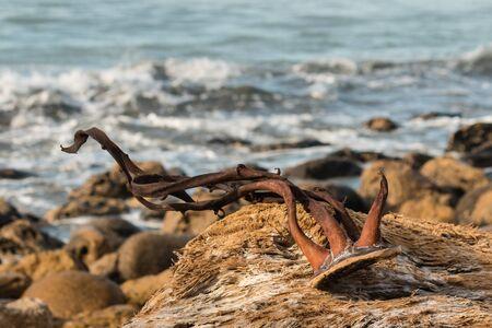 alga marina: close up de secado de algas en el driftwood Foto de archivo