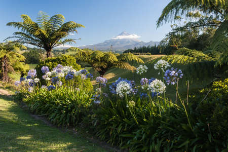 agapanthus flowers with mount taranaki in background