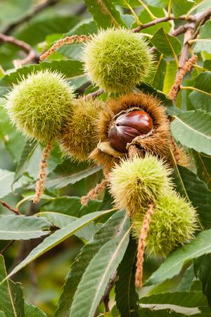 husks: sweet chestnuts husks and seeds