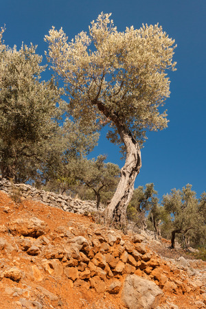 twisted: twisted olive trees Stock Photo