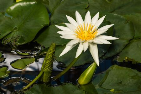 waterlily: European white waterlily flower head
