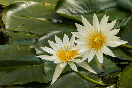 waterlily: white waterlily flowers