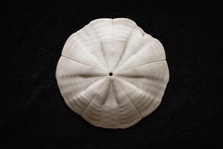 sand dollar: shell d�lar de arena contra el fondo negro