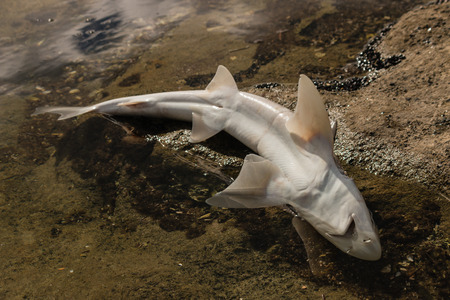 close up of baby shark carcass