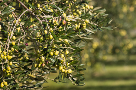 olive branch: olive branch with ripening green olives Stock Photo