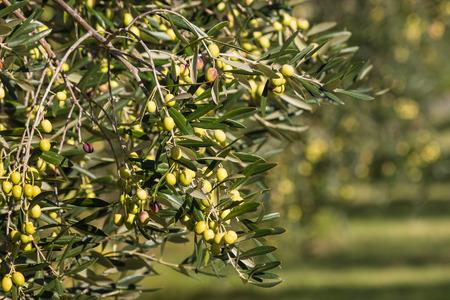 rama de olivo: rama de olivo con las aceitunas verdes de maduración Foto de archivo