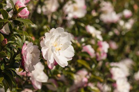 close up of pink camellia shrub in bloom