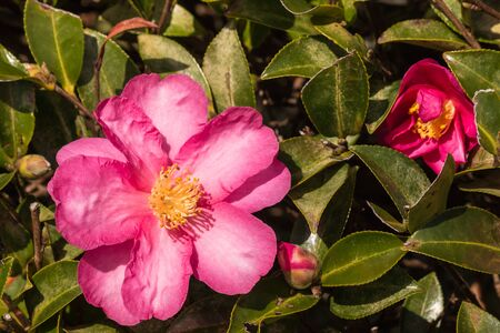 close up of pink camellia flowers
