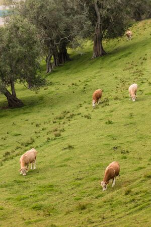 heifer: cows grazing on grassy slope Stock Photo
