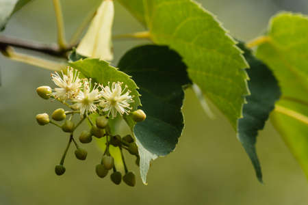 linden: close up of linden tree flowers