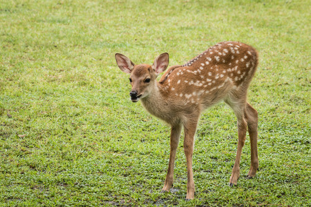close up of bleating sika deer fawn Foto de archivo