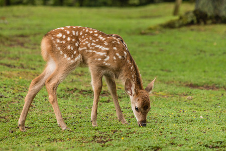 close up of grazing sika deer fawn