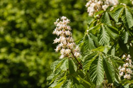 horse chestnut': close up of horse chestnut flowers in bloom