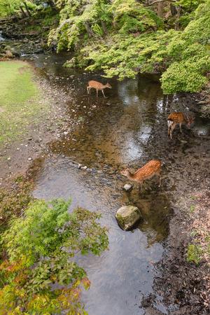forest stream: deer drinking water in forest stream