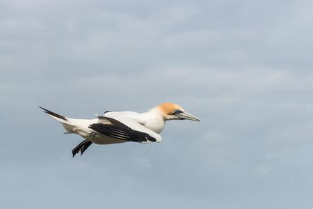 close up of landing gannet