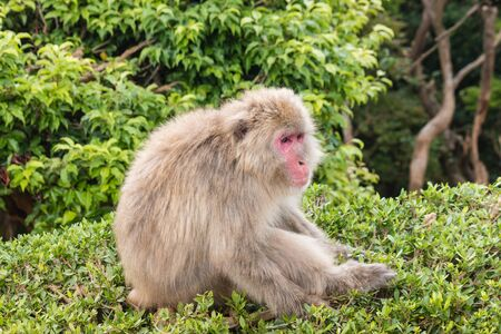 macaque: Japanese macaque sitting on bush Stock Photo