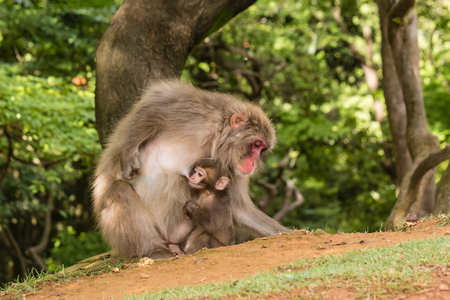 macaque: macaque mother feeding baby monkey