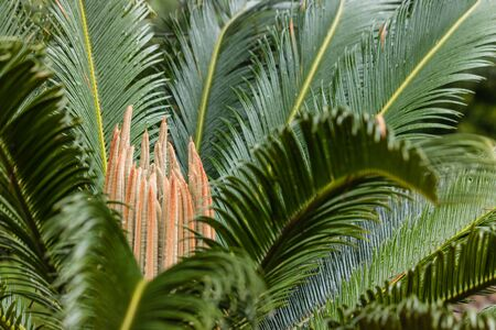 cycad: close up of cycad leaves
