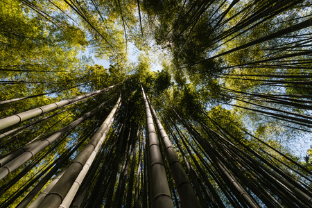 ''wide angle'': wide angle view of bamboo forest