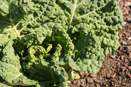savoy cabbage: close up of savoy cabbage growing in soil