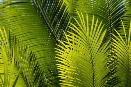 fresh palm tree leaves