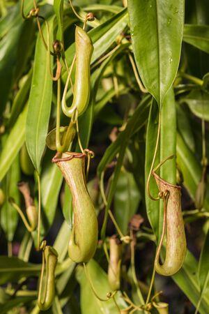 carnivorous: close up of carnivorous plant flowers