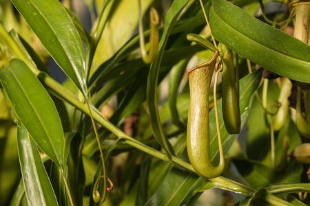 pitfall: closeup of pitcher plant flower
