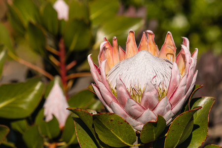 protea flower: Kind protea flower and buds