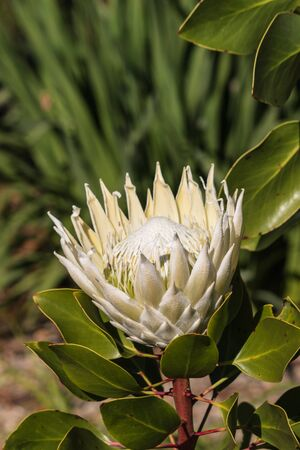 protea flower: closeup of white protea flower