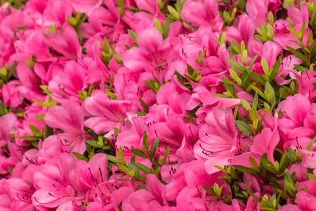 満開のピンクのツツジの花のクローズ アップ 写真素材 - 43436203