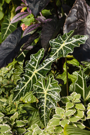 shinning leaves: closeup of taro leaves