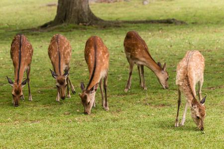 sika deer: grazing sika deer hinds
