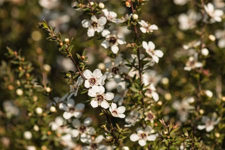 closeup of manuka flowers 스톡 콘텐츠